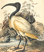 Black-headed ibis (Threskiornis melanocephalus) also known as the Oriental white ibis, Indian white ibis, and black-necked ibis, is a species of wading bird of the ibis family Threskiornithidae which breeds in the South- and Southeast Asia from India to the west and as far east as Japan. 19th century watercolor painting by Elizabeth Gwillim. Lady Elizabeth Symonds Gwillim (21 April 1763 – 21 December 1807) was an artist married to Sir Henry Gwillim, Puisne Judge[1] at the Madras high court until 1808. Lady Gwillim painted a series of about 200 watercolours of Indian birds. Produced about 20 years before John James Audubon, her work has been acclaimed for its accuracy and natural postures as they were drawn from observations of the birds in life. She also painted fishes and flowers.