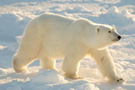 Polar Bear (Ursus maritimus)  Large male walking. November. Winter. Along the Hudson Bay near Churchill, Manitoba. Canada.