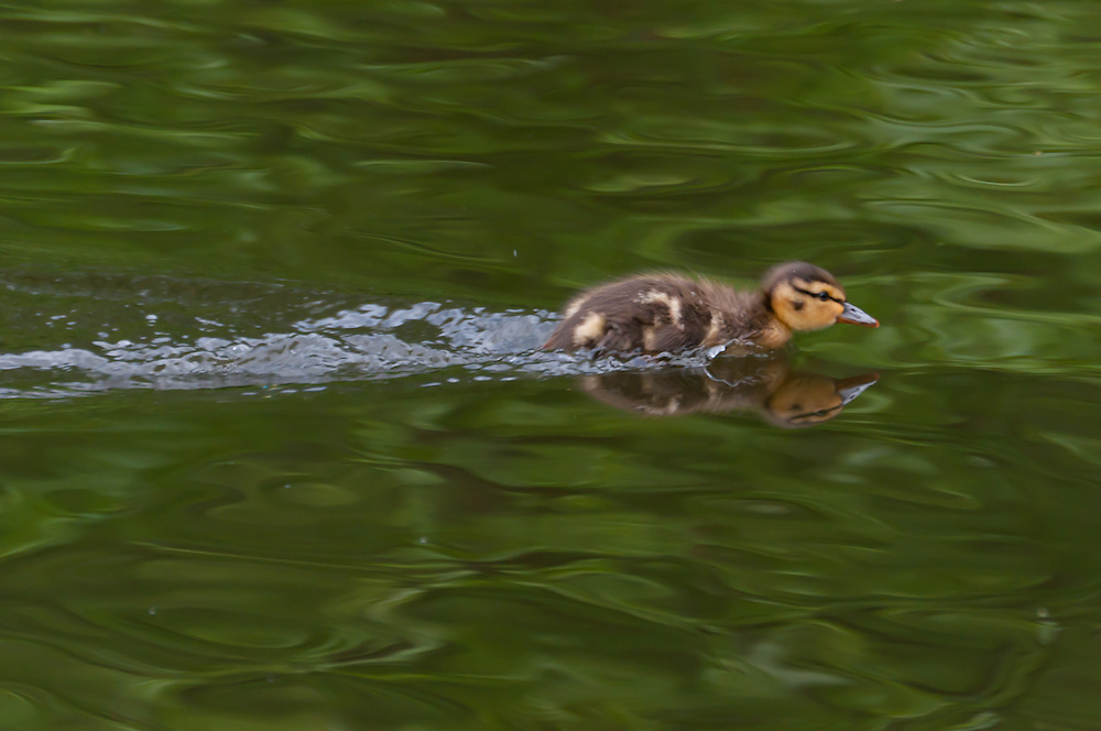 A young mallard duck dashes across a pond in Golden Gardens Park, Seattle, Washington.  Photo by William Byrne Drumm.