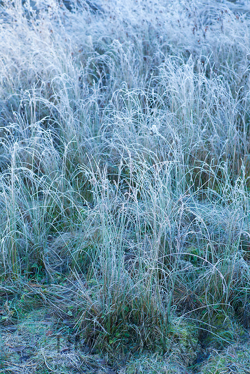 Hoar frost creating sculptural frosty grasses in winter landscape in Swinbrook in the Cotswolds, England, UK