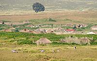 Grant's Zebras, Equus quagga boehmi, graze near a village in Ngorongoro Crater, Ngorongoro Conservation Area, Tanzania