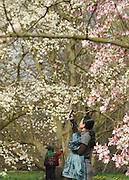 © Licensed to London News Pictures. 22/03/2012. Kew, UK. A woman takes a picture of the Magnolia trees in bloom. People enjoy the spring sunshine in The Royal Botanic Gardens at Kew today, 22 March 2012. Temperatures are set to reach 18 degrees celsius in some parts of the UK today. Photo credit : Stephen SImpson/LNP
