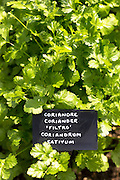 Coriander herb, Coriandrum sativum, in vegetable garden at Raymond Blanc hotel in Oxfordshire UK