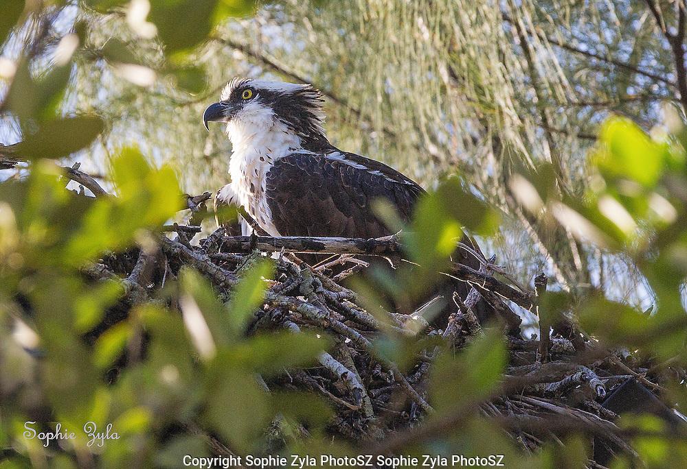 Osprey lookout