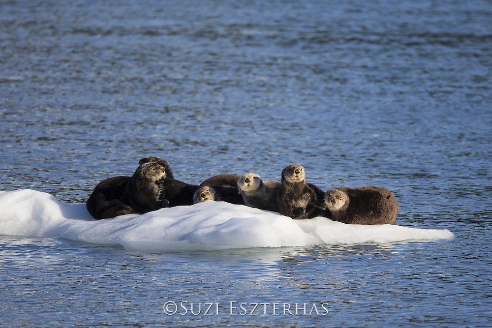 Sea Otter<br /> Enhydra lutris<br /> Prince William Sound, Alaska