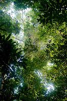 Wide view looking up at an orangutan high in the canopy<br /><br />Bornean Orangutan <br />Wurmbii Sub-species<br />(Pongo pygmaeus wurmbii)<br /><br />Gunung Palung Orangutan Project<br />Cabang Panti Research Station<br />Gunung Palung National Park<br />West Kalimantan Province<br />Island of Borneo<br />Indonesia