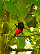 Scarlet-romped Tanager, ramphocelus passerinii,  Arenal Cloud Forest, Costa Rica