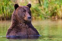 Coastal brown bear in Katmai National Park and Preserve, SW Alaska, summer