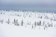 Scarce Forest   Saariselkä, Finland