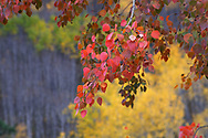Three colors of autumn show themselves on an autumn day in the Black Hills in an aspen woodland setting.