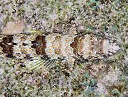 lizard fish rests on bottom in bonaire