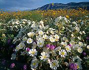 Dune evening primrose, Oenothera deltoides, desert sunflower, Geraea canescens, and desert sand verbena, Abronia villosa, flats adjacent to Coyote Mountain surrounded by Anza Borrego Desert State Park, California.