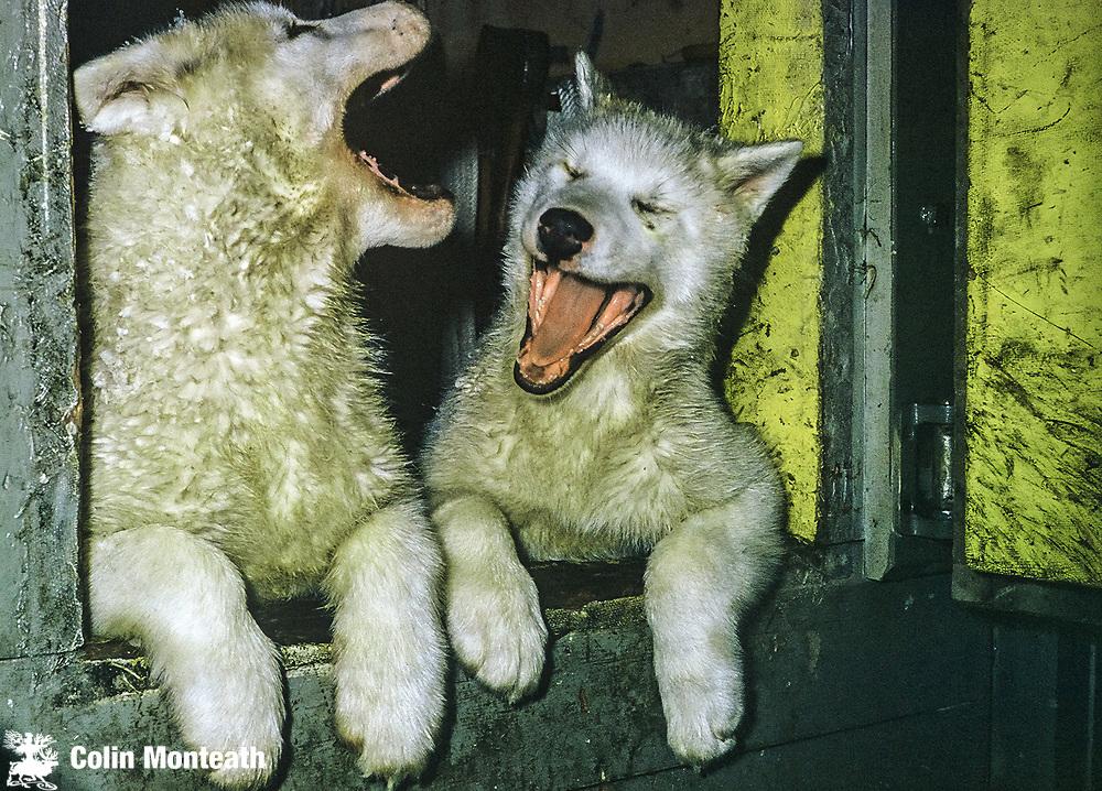 Scott base husky pups, 1962