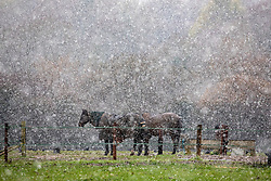 © Licensed to London News Pictures. 28/12/2020. London, UK. Horses brave the sleet and snow near Andover in Hampshire this afternoon as temperatures dropped to -3c in the South East today. The Met Office has issued a yellow weather warning for snow and ice for much of the country with heavy snow falls in Hampshire and the West Country. Photo credit: Alex Lentati/LNP