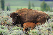 Bison and calf in Yellowstone National Park