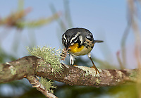 Arthur R. Marshall Loxahatchee National Wildlife Reserve, Wellington, Florida, USA. Yellow-throated warbler (Dendroica dominica) eating an insect   Photo: Peter Llewellyn
