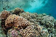 Coral reef in Tetamanu Pass, Fakarava Atoll, French Polynesia, an UNESCO World Heritage Site.