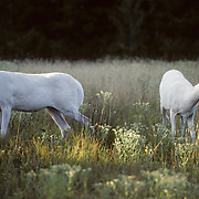 Albino Whitetail Deer twin does in a meadow in the evening during late summer.  Wisconsin