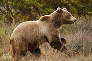 Grizzly Bear (interior Alaska), Ursus arctos; yearling cub, running, autumn, alpine tundra, hibernates in winter, Denali National Park, Alaska, ©Craig Brandt, all rights reserved; brandt@mtaonline.net