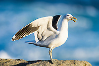 Kelp Gull calling with open wings, Garden Route National Park, Eastern Cape, South Africa