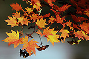 A Japanese maple has changed color at the Seattle Japanese Garden, as the morning light hits it. (Ken Lambert / The Seattle Times)