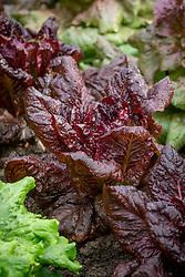 Lactuca sativa 'Nymans' AGM - Lettuce
