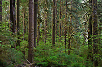 South Fork Skokomish River verdant coniferous forest Olympic National Forest on the south end of the Olympic Mountains, Washington, USA
