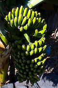 Bananas, La Gomera, Canary Island. The Banana was introduced to the Canary Islands in the 16th century.