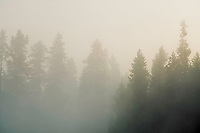 The morning fog glows in the air as it surrounds the pine trees of a nearby lake on a cool Summer morning.