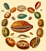 Conchology The collection and study of mollusc shells hand coloured Copperplate engraving From the Encyclopaedia Londinensis or, Universal dictionary of arts, sciences, and literature; Volume V;  Edited by Wilkes, John. Published in London in 1810