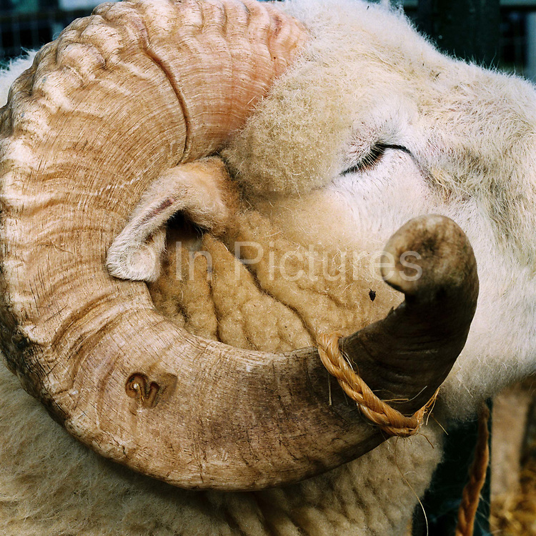 A close up of an Exmoor Horn ram with a 2 burnt on its horn. The Exmoor Horn is a white faced, horned breed of hill sheep. It was developed in Exmoor, Devon, in the 19th century, but is a descendant of sheep that had roamed on the moors for several hundred years.