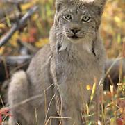 Canada Lynx, (Lynx canadensis) Montana. Portrait of adult. Fall. Captive Animal.
