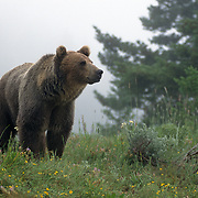 Grizzly Bear (Ursus horribilis) in fog in Montana. Captive Animal