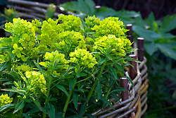 Euphorbia palustris with woven willow support