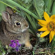 Mountain Cottontail (Sylvilagus nuttalli) in spring flowers. Captive Animal