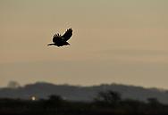 Carrion Crow - Corvus corone corone