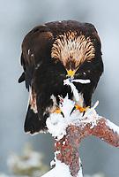 Golden eagle (Aquila chrysaetos), Flatanger, Norway