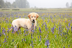 """""""Puppy in Snowy Sagehen Meadows 4"""" - Photograph of a Golden Retriever puppy """"Quill"""" playing in the snow and Camas wildflowers at Sagehen Meadows, a little north of Truckee, California."""