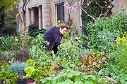Judy Kirshner working in her garden. Urban Garden in front yard of home in upscale Hancock Park. Judy Kirshner started the garden 10 years ago. At the time, her neighbors did not approve, but the garden has become a popular spot over the years and attracts many visitors. The plot contains about 50 varieties of vegetables, 12 winter herbs, 9 kinds of flowers<br /> and 12 fruit trees. Los Angeles, California, USA