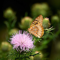 Butterfly on Thistle Bloom. Sourland Mountain Preserve, Summer Nature in New Jersey. Image taken with a Nikon D700 and 28-300 mm VR lens (ISO 200, 300 mm, f/5.6, 1/640 sec). Raw image processed with Capture One Pro 6, Nik Define, and Photoshop CS5.