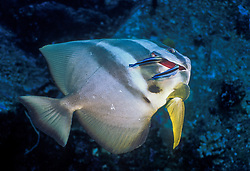 Longfin spadefish, Platax teira, being cleaned by pair of Bluestreak Cleaner Wrasse,  Labroides dimidiatus. Koh Tachai, Thailand, Andaman Sea
