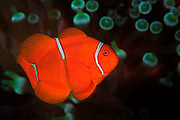 Anemonefish are relatively common in tropical waters and inhabit various species of anemones.  Although the anemone possess stinging cells used to capture and kill prey, the anemonefish is immune to this sting.  The fish lives with the anemone and supplements its diet by cleaning the anemone of parasites