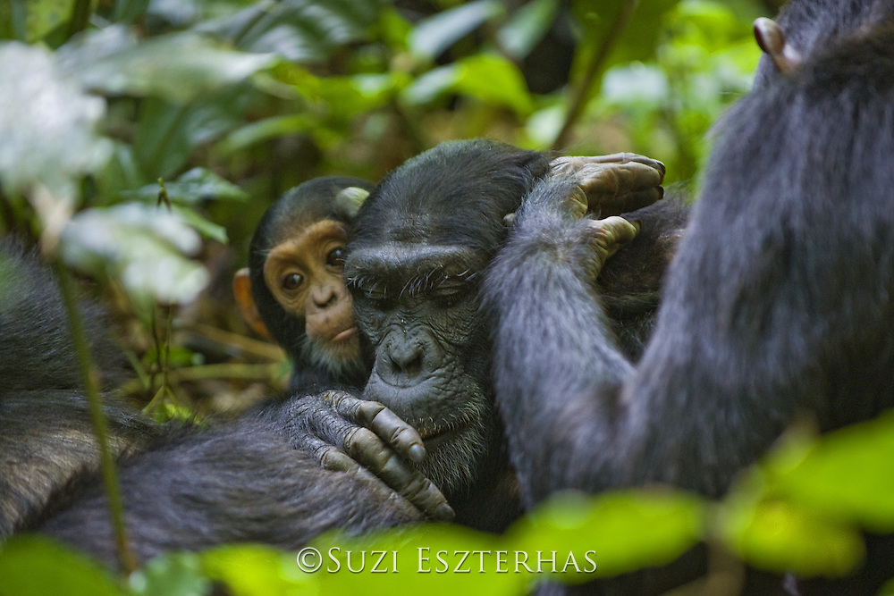 Chimpanzee <br /> Pan troglodytes<br /> One year old infant watching mother as she grooms another adult<br /> Tropical forest, Western Uganda