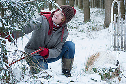 Woman cutting a Christmas tree in snowy forest in winter, Bavaria, Germany