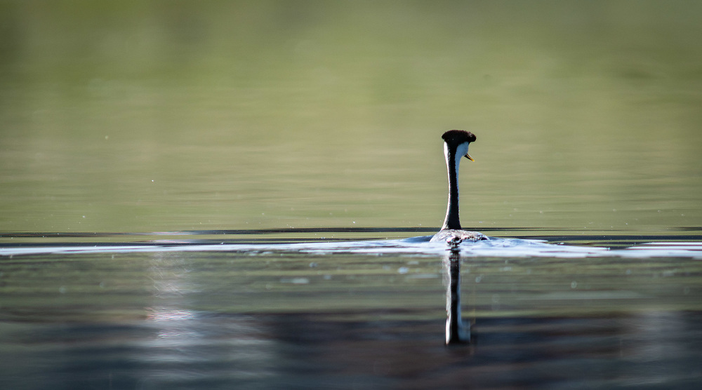 A western grebe swims in Lake DeWeese Reservoir on summer morning. Presented at Art for the Sangres, double matted in a 16x24 wood frame: $350.