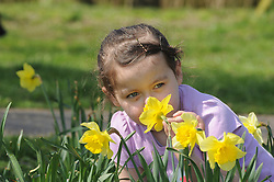 © Licensed to London News Pictures. 23/04/2013.A little girl smelling the daffodils in Swanley..Sun weather today (23.04.2013) at Swanley Park in Kent.Photo credit : Grant Falvey/LNP