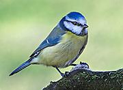 Blue Tit, Parus Caeruleus, perched on frosty stick in Lancashire, UK