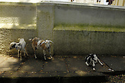 Thursday 14th August 2014: Goats on the pavement in Fort Kochi.