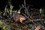 An american beaver (Castor canadensis) amongst pond side woody debris at night in the Mount Hood National Forest, Oregon.  Photographed with a motion sensing camera.