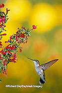 01162-064.05 Ruby-throated Hummingbird (Archilochus colubris) female on Lady-in-Red Salvia (Salvia coccinea) Shelby Co. IL